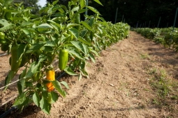 Organic peppers sprout from vines on Mt Laurel's 25-acre farm.